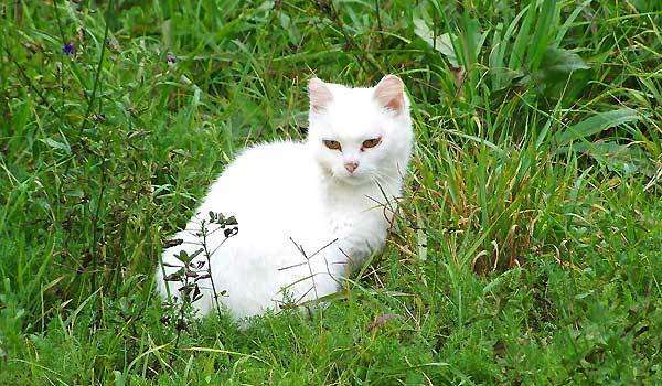 Why Are White Cats Deaf?